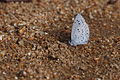 Holly Blue (Celastrina argiolus) (16259507954).jpg