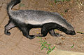 Honey Badger (Mellivora capensis) (17181070118).jpg