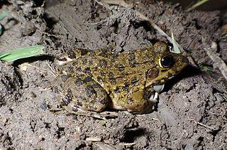 <i>Hoplobatrachus crassus</i> species of amphibian