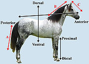 Figure 4:  Different directional AP axes in three body segments of a horse). Axis (A) (in red) shows the AP axis of the tail, (B) shows the AP axis of the neck, and (C) shows the AP axis of the head.