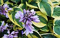Hosta flower Auburn, WA.jpg