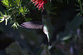 Hummingbird in ggp 5.jpg