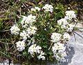 Hutchinsia alpina a1.jpg