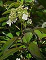 Hydrangea heteromalla flower.jpg