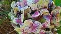 Hydrangea macro (38064228642).jpg