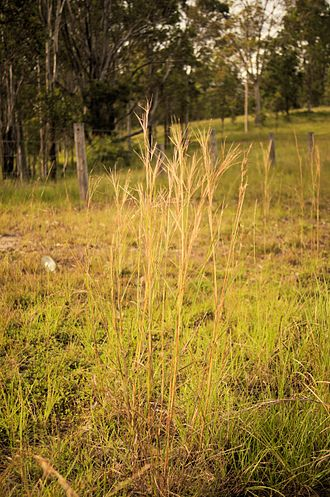 Hyparrhenia filipendula - New South Wales, Australia