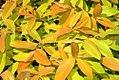 Hypericum calycinum Brigadoon 0zz.jpg