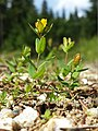 Hypericum humifusum sl7.jpg
