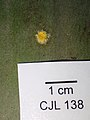 Hypocrella hirsuta 799611.jpg