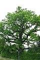 ID 771 Quercus Spielberg.JPG