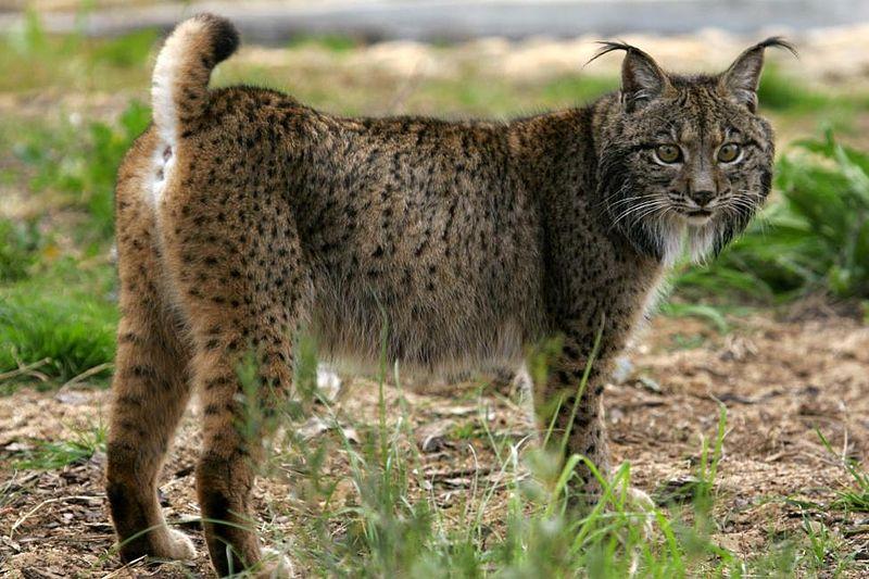 Image result for iberian lynx