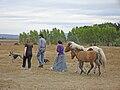 Iceland Ponies auf Richard's farm.jpg