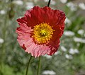 Iceland Poppy Papaver nudicaule 'Champagne Bubbles' Pink Flower.jpg