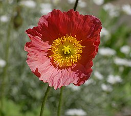 Iceland Poppy Papaver nudicaule 'Champagne Bubbles' Pink Flower