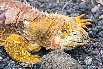 Charles Darwin Foundation - Image: Iguana terrestre (Conolophus subcristatus), isla Santa Cruz, islas Galápagos, Ecuador, 2015 07 26, DD 11