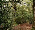 Ilex aquifolium 12 ies.jpg