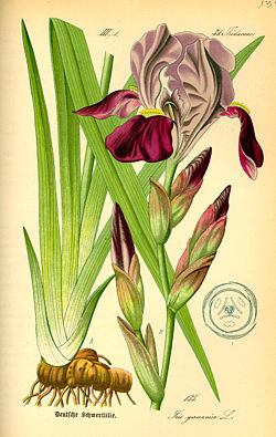 Illustration Iris germanica0.jpg