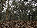 Indian Botanic Garden - Howrah 2012-01-29 1665.JPG