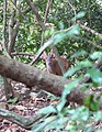 Indian Muntjac, Barking deer 1.jpg