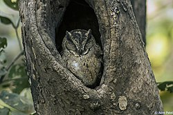 Indian Scops Owl, Gir Sanctuary 1.jpg