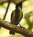 Indian Yellow Tit Machlolophus aplonotus by Dr. Raju Kasambe DSCN0182 (3).jpg