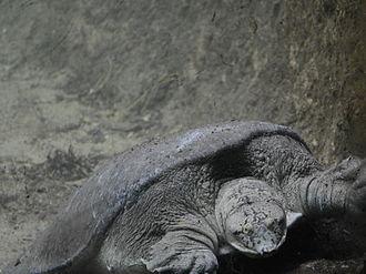 Indian flapshell turtle - Indian flapshell turtle kept at the MCBT