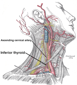 Inferior thyroid and ascending cervical.PNG