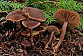 Inocybe tubarioides 753489.jpg