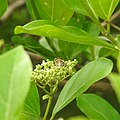Insects Bee from Madayipara DSCN2139.jpg