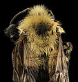 Intersex Bombus bimaculatus, gyn, back2, washington, oh 2014-05-07-19.20.21 ZS PMax (14145519241).jpg