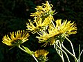 Inula magnifica, giant fleabane at Nuthurst, West Sussex, England.jpg