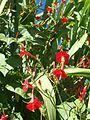 Ipomoea hederifolia 4.JPG