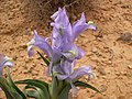 Iris aucheri flowers in Syria.jpg