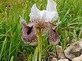 Iris bismarckiana (7071447621).jpg