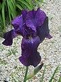 Iris dans un jardin de l'Yonne.jpg