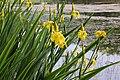 Iris pseudacorus TK 2021-06-06 1.jpg