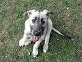 Irish Wolfhound Puppy.jpg