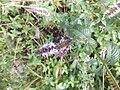 Isodontia mexicana 04.jpg