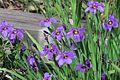 J20170410-0096—Sisyrinchium bellum—RPBG Plant Sale (33862911552).jpg