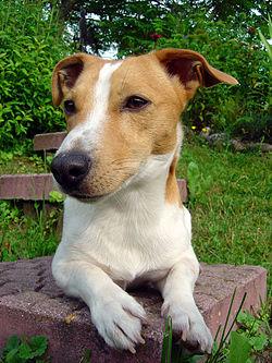Jack Russell Terrier.jpeg