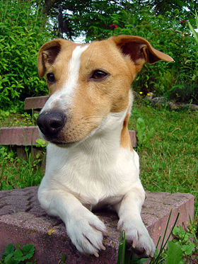 http://upload.wikimedia.org/wikipedia/commons/thumb/d/d8/Jack_Russell_Terrier.jpeg/280px-Jack_Russell_Terrier.jpeg