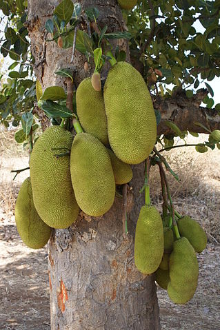 Jackfruit in Gujarat