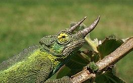 Oostafrikaanse Driehoornkameleon