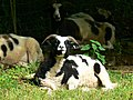 Jacob sheep, The Mansion, Woodchester Park - geograph.org.uk - 931869.jpg