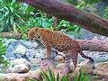 Jaguar, Biouniverzoo, Chetumal, Q. Roo - panoramio.jpg