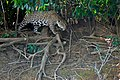 Jaguar (Panthera onca) female walking on the river bank ... (29170234656).jpg