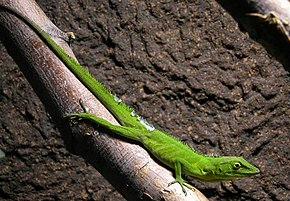 Description de l'image Jamaika-anolis-22.jpg.