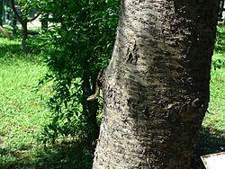 Japalura swinhonis on tree.jpg