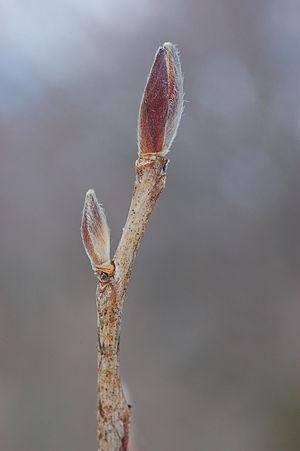 Stuartia pseudocamellia