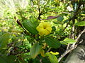 Jasminum odoratissimum (Jardín Botánico Canario Viera y Clavijo).jpg